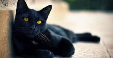تفسير رؤية القطة السوداء في الحلم