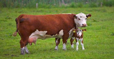 تفسير رؤية البقرة في الحلم ومعناه
