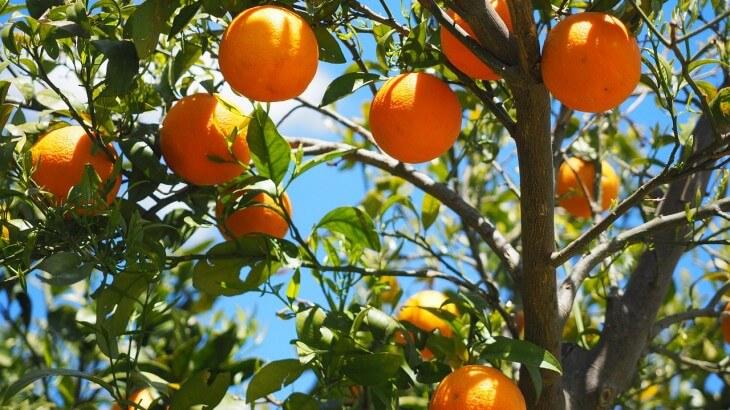 تفسير رؤية البرتقال في الحلم معلومة ثقافية