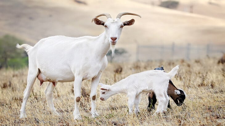 تفسير رؤية الماعز في المنام