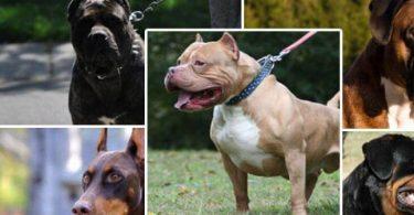 اشرس 9 كلاب في العالم بالترتيب