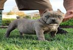 كيفية تدريب الكلاب الصغيره على الشراسة والطاعة