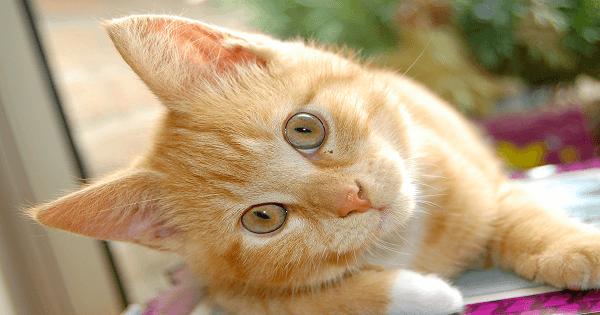 كيفية تربية القطط الشيرازى الصغيرة والعناية بها