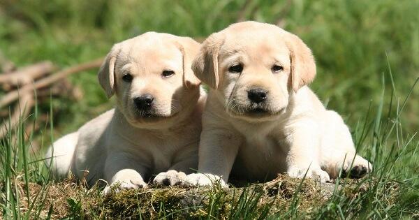مدة حمل الكلاب بالتفصيل، جميع الأنواع