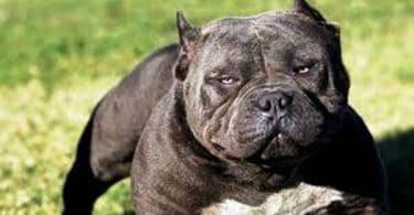 معلومات عن تربية الكلاب البيتبول