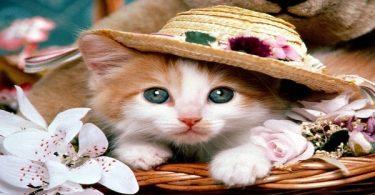 معلومات عن قطط الهملايا ومواصفاتها