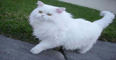 اكل القطط الشيرازى المفضل في البيت