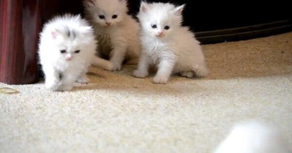 اعمار القطط
