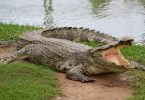 التمساح في الحلم تفسير الامام