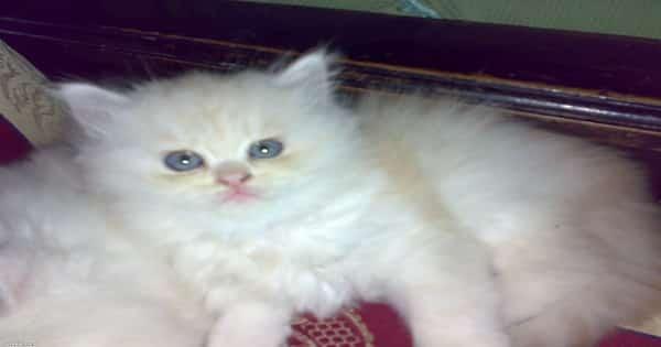انواع القطط الشيرازى بالصور واسعارها