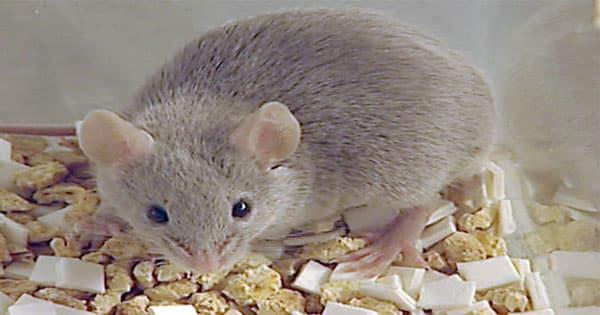 تفسير حلم الفأر في المنام ومعناه بالتفصيل معلومة ثقافية