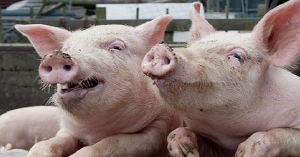 تفسير رؤية الخنزير في المنام