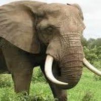 رؤية الفيل في المنام