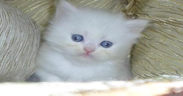 معلومات عن القطط الشيرازى وكيفية تربيتها