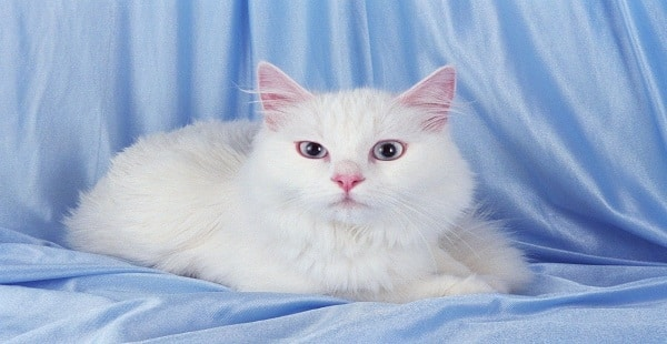 معلومات عن القطط تغذيتها وتربيتها وتكاثرها