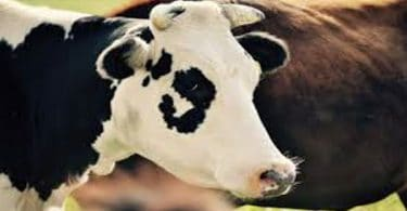تفسير ذبح البقرة أو العجل في المنام