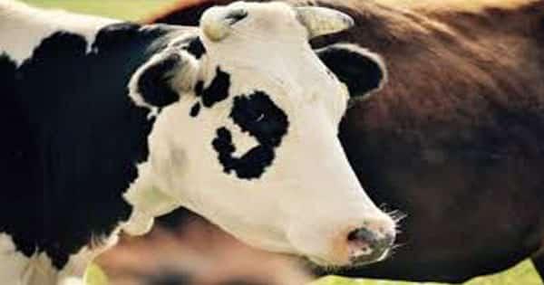 تفسير ذبح البقرة أو العجل في المنام لابن سيرين معلومة ثقافية