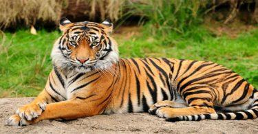 النمور الأسيوية