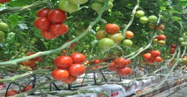 بحث عن زراعة الطماطم بدون تربة