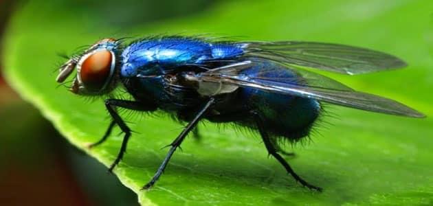 الذباب الأزرق
