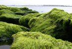 بحث عن استخراج الوقود الحيوي من الطحالب