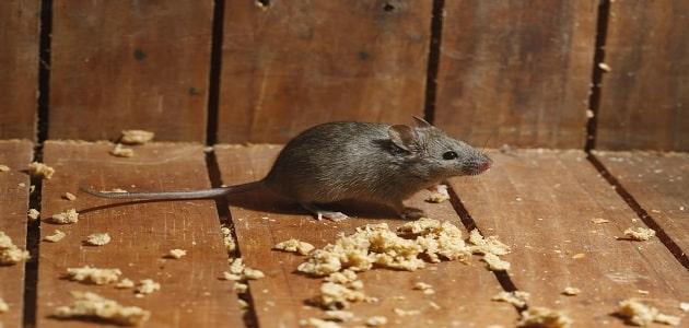 طرق مكافحة الفئران المنزلية بسرعة