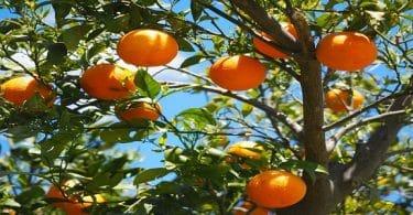طريقة زراعة شتلات البرتقال
