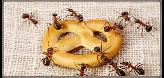 طريقة للتخلص من النمل بشكل نهائي معلومة ثقافية