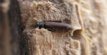 كيف يتم علاج سوس الخشب في المنزل
