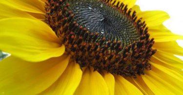 مراحل نمو زهرة عباد الشمس وفوائدها