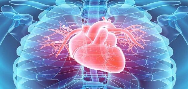 معلومات عن القلب البشري ووظائفه
