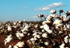معلومات عن زراعة القطن في مصر