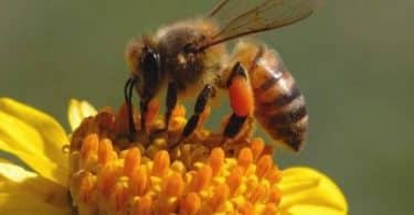أضرار العلاج بسم النحل