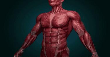 كم عدد العضلات التي يحتوي عليها جسم الانسان