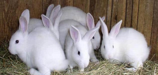 كيفية تربية الأرانب في المنزل