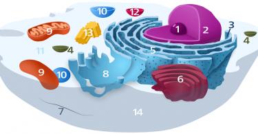 بحث عن مكونات الخلية النباتية والحيوانية ووظائفهم