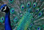 تفسير رؤية الطاووس في المنام