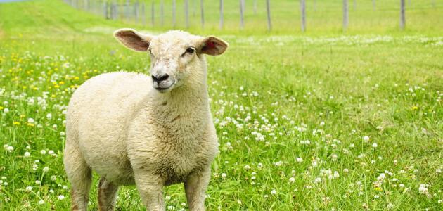 تفسير رؤية رأس خروف مقطوع على الأرض في المنام