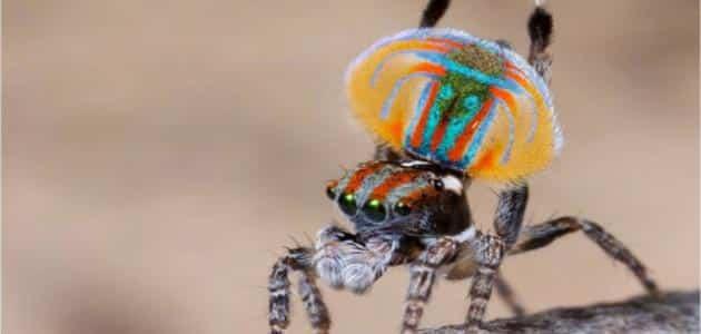 معلومات عن انواع العناكب السامة والغير سامة