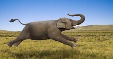 11 معلومة عن سرعة الفيل القصوى بالساعة
