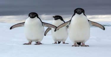 معلومات غريبة عن البطريق للأطفال الصغار