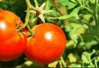 مواعيد زراعة الطماطم وانواعها المتعددة