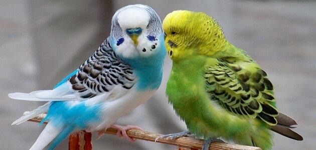 أفضل أنواع العصافير وكيفية الإعتناء بهم معلومة ثقافية