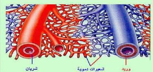 الفرق بين الدورة الدموية الصغرى والكبرى فى جسم الإنسان