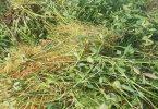 الفوائد السبع نبات الحامول