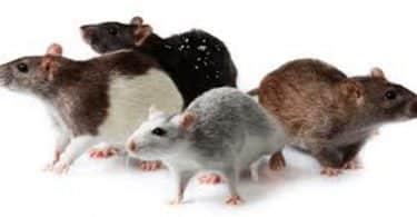 تفسير رؤية الفئران الصغيرة في المنام