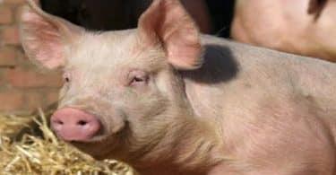 تفسير رؤية الهروب من الخنزير في المنام
