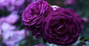 تفسير رؤية زهور البنفسج في المنام