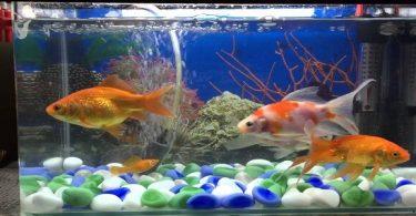 كيفية تربية ورعاية أسماك الزينة في حوض الاسماك