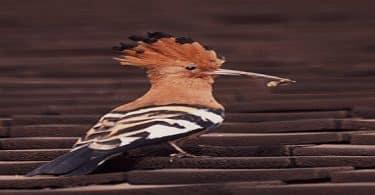 هل يمكن تربية واقتناء طائر الهدهد في المنزل